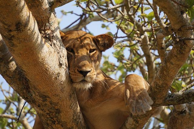 odpočívající lvice